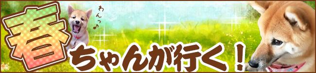 えんどう家の看板犬、春ちゃんが 戸田市や遠藤英樹の活動をワンコ目線でレポートします!
